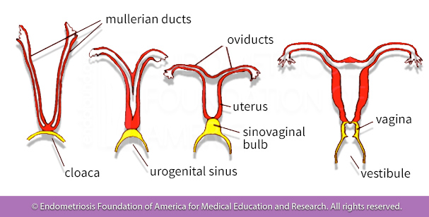 The development of the uterus is important for the cause endometriosis