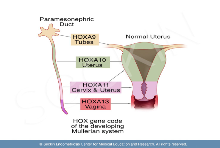 The role of the HOX gene in the development of the uterus